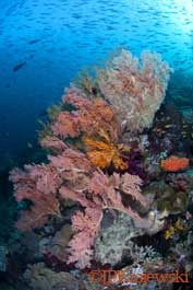 Soft corals teeming with fish